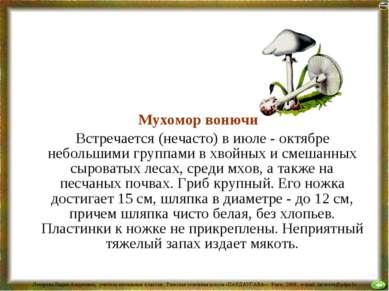 Мухомор вонючий Встречается (нечасто) в июле - октябре небольшими группами в ...