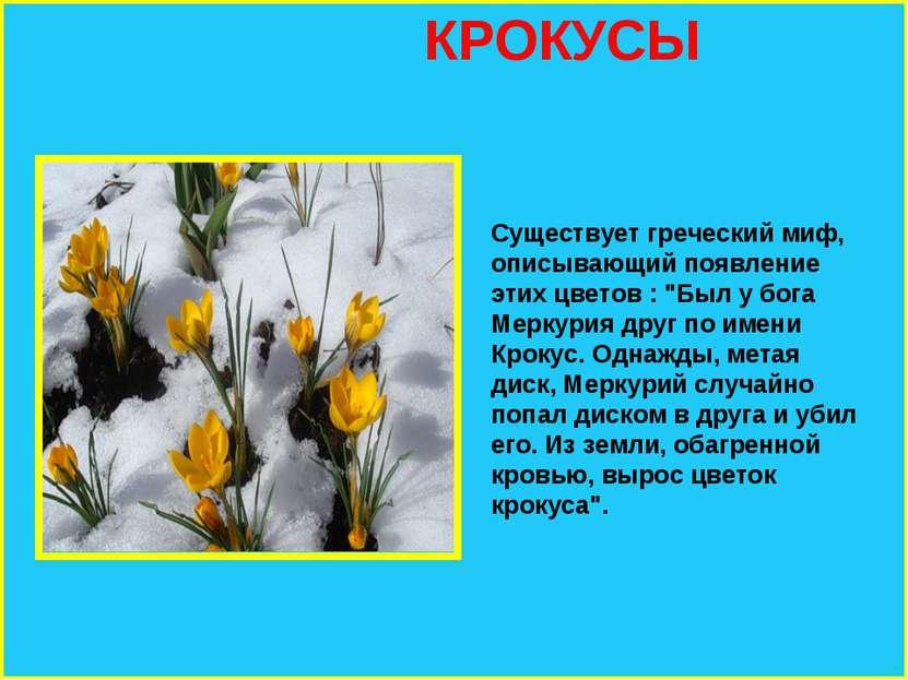 """КРОКУСЫ Существует греческий миф, описывающий появление этих цветов : """"Был у ..."""