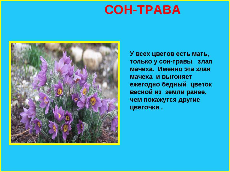 СОН-ТРАВА У всех цветов есть мать, только у сон-травы злая мачеха. Именно эта...