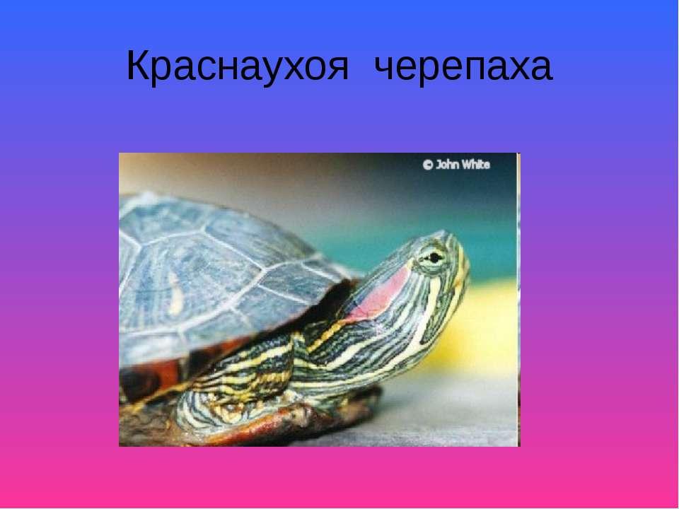 Краснаухоя черепаха