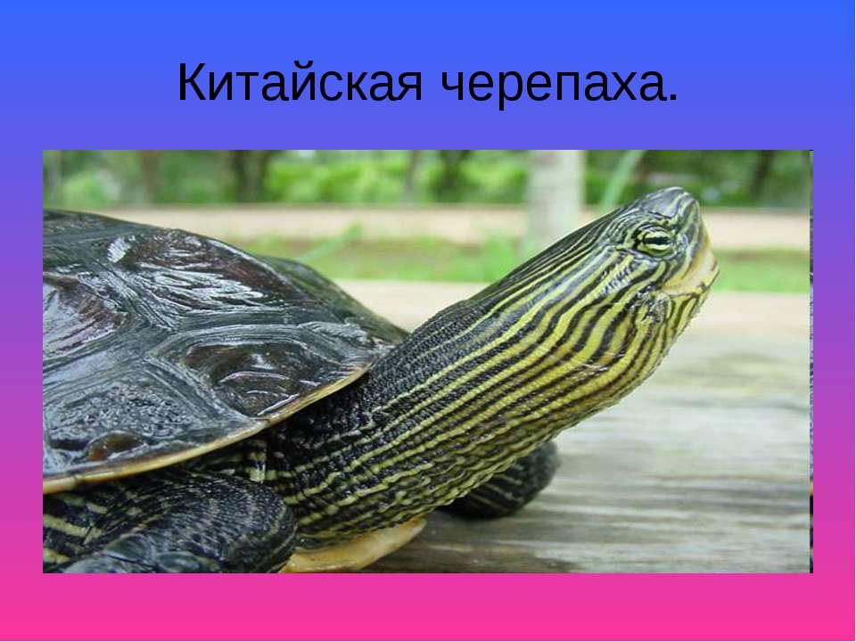 Китайская черепаха.