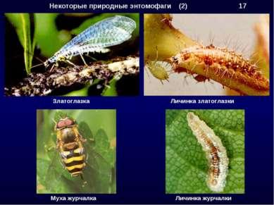 Некоторые природные энтомофаги (2) 17 Златоглазка Личинка златоглазки Муха жу...