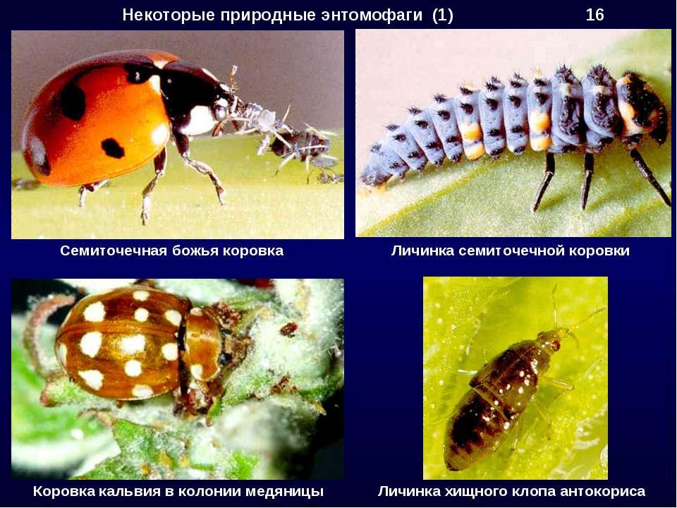 Некоторые природные энтомофаги (1) 16 Семиточечная божья коровка Личинка семи...