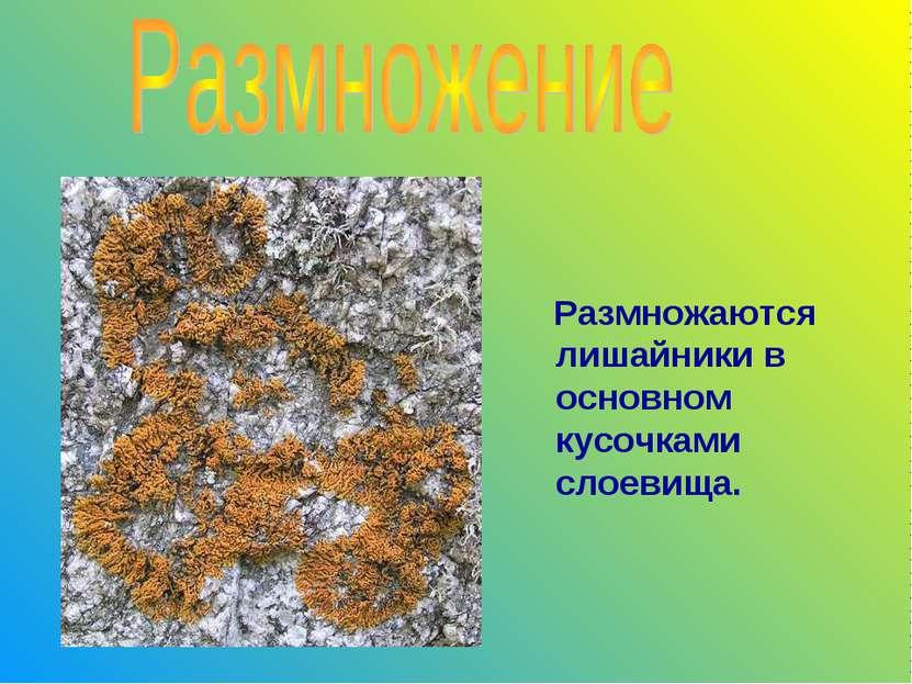 Размножаются лишайники в основном кусочками слоевища.