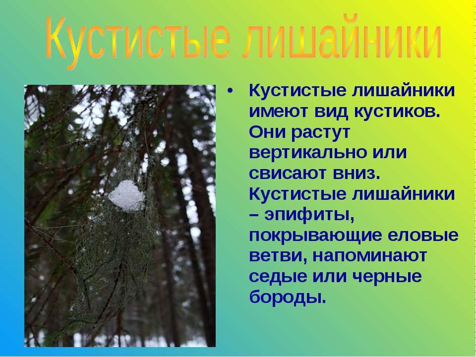 Кустистые лишайники имеют вид кустиков. Они растут вертикально или свисают вн...