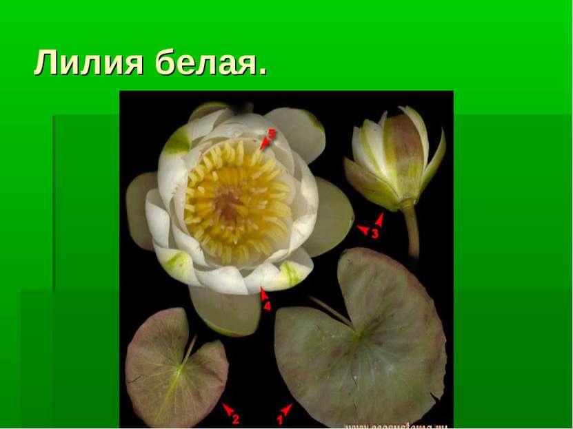 Лилия белая.