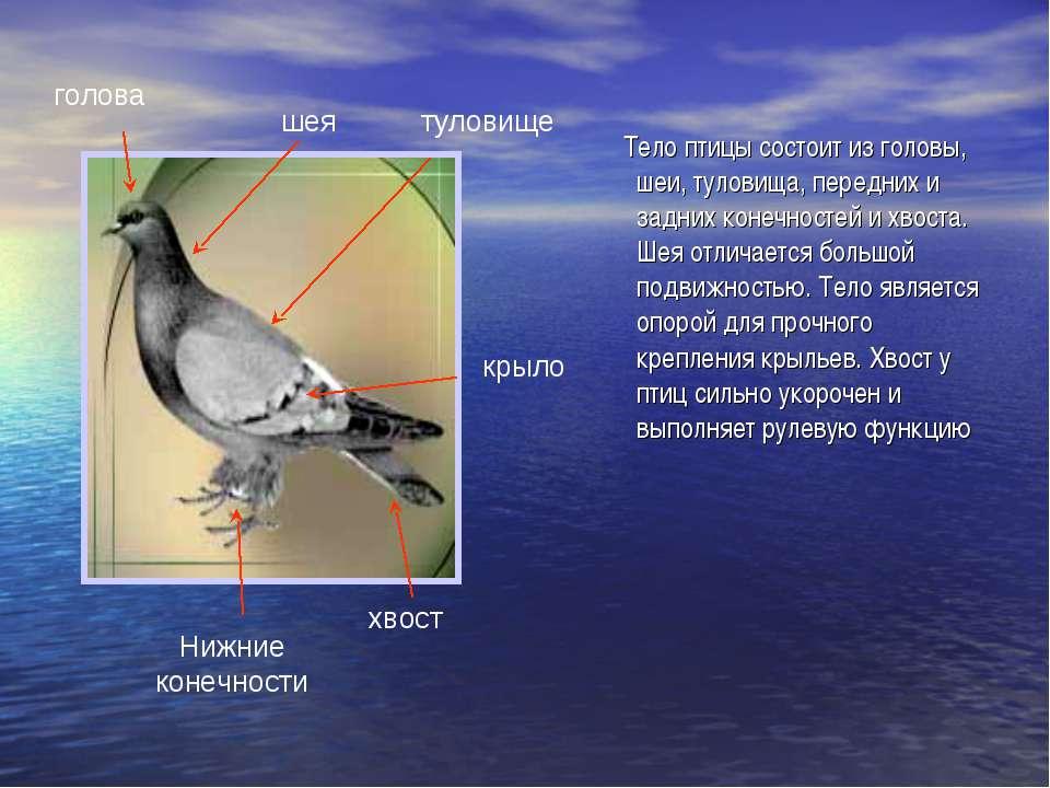 голова шея крыло туловище Нижние конечности хвост Тело птицы состоит из голов...