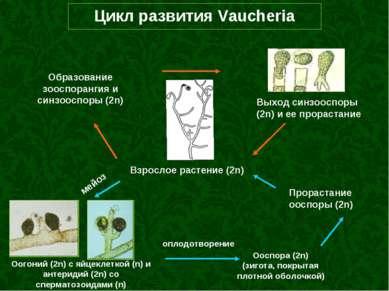 Цикл развития Vaucheria Взрослое растение (2n) Оогоний (2n) с яйцеклеткой (n)...
