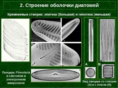 2. Строение оболочки диатомей Кремниевые створки: эпитека (большая) и гипотек...