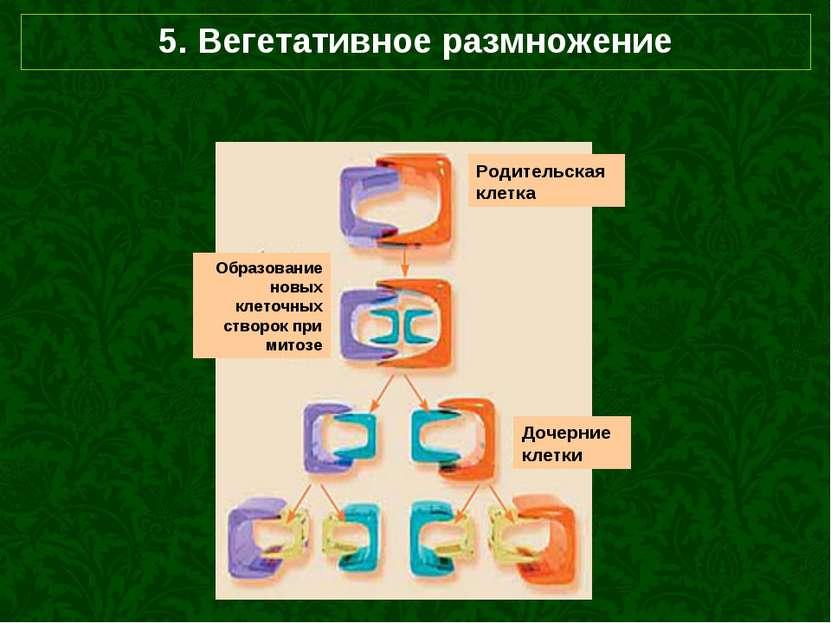 5. Вегетативное размножение Родительская клетка Образование новых клеточных с...