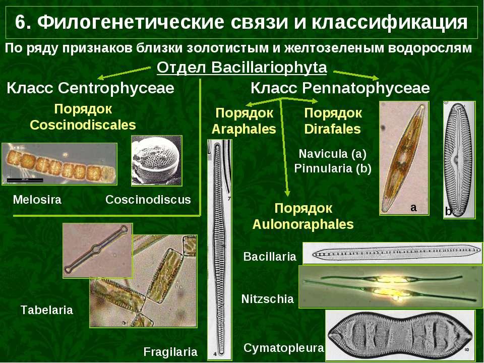 6. Филогенетические связи и классификация По ряду признаков близки золотистым...