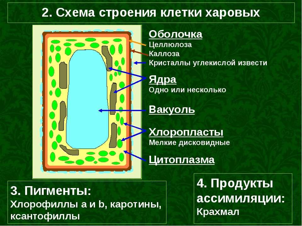 2. Схема строения клетки харовых Вакуоль Хлоропласты Мелкие дисковидные Ядра ...