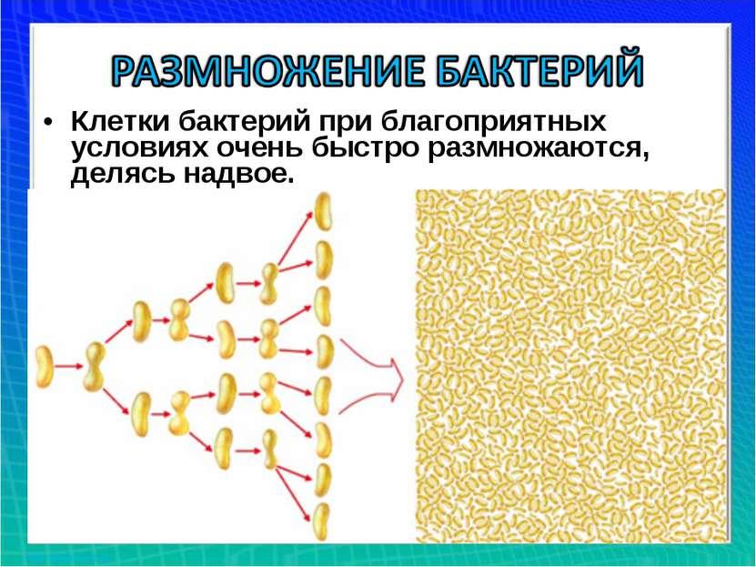 Клетки бактерий при благоприятных условиях очень быстро размножаются, делясь ...