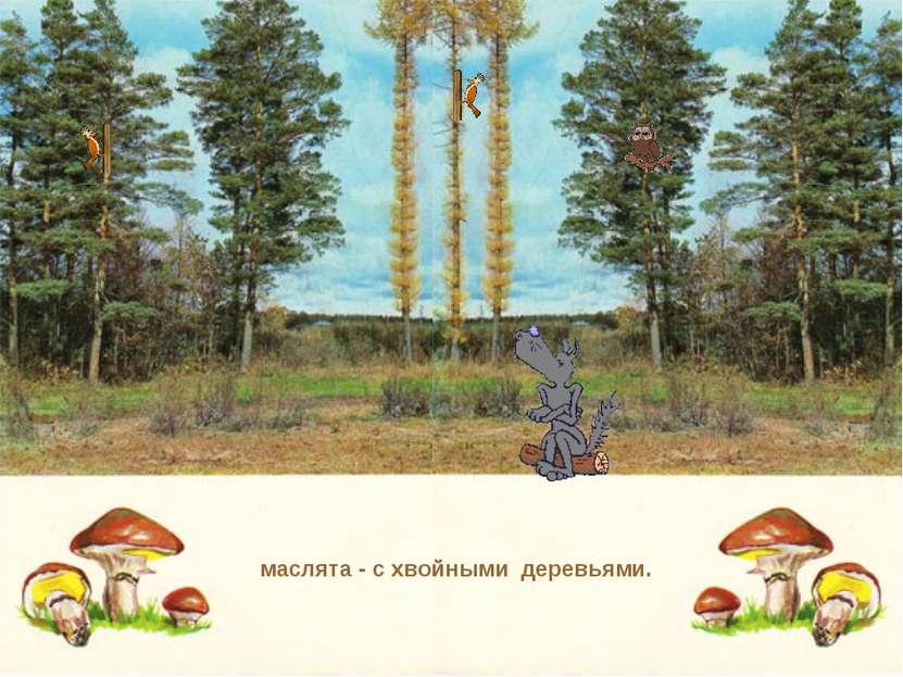 маслята - с хвойными деревьями.