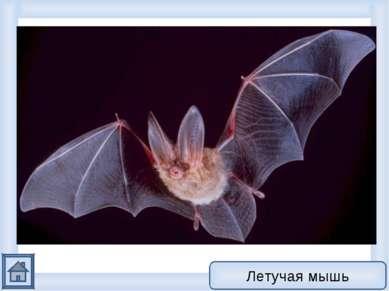 Это животное относится к типу хордовых Ведет ночной образ жизни Способно к по...