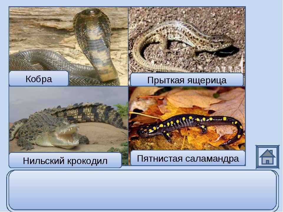 Кобра Нильский крокодил Прыткая ящерица Пятнистая саламандра Пятнистая салама...