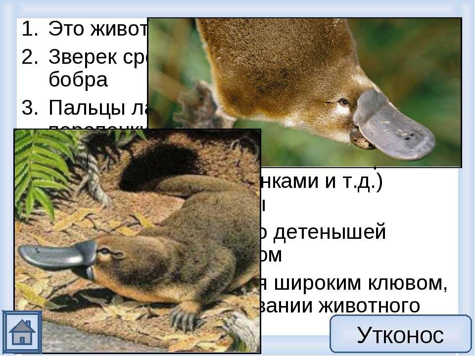 Это животное из класса млекопитающих Зверек среднего размера, хвост как у боб...