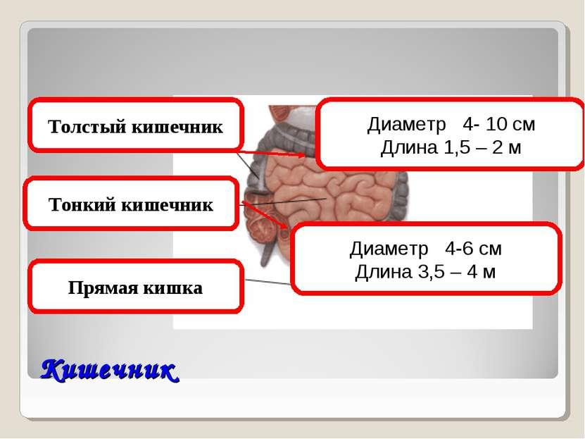 Кишечник Толстый кишечник Тонкий кишечник Прямая кишка Диаметр 4-6 см Длина 3...