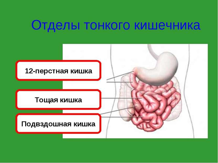 Отделы тонкого кишечника 12-перстная кишка Тощая кишка Подвздошная кишка