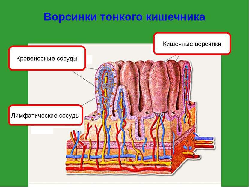 Ворсинки тонкого кишечника Кишечные ворсинки Кровеносные сосуды Лимфатические...