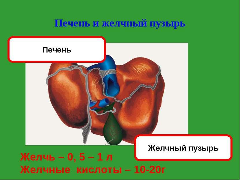Печень и желчный пузырь Желчный пузырь Печень Желчь – 0, 5 – 1 л Желчные кисл...
