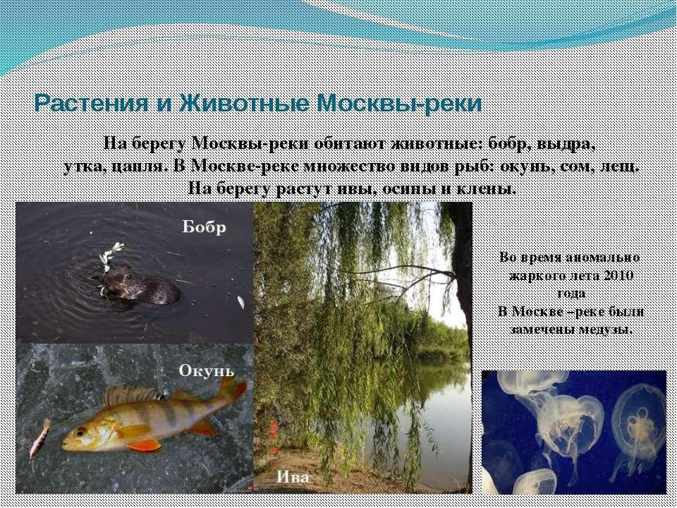 Растения и Животные Москвы-реки На берегу Москвы-реки обитают животные: бобр,...