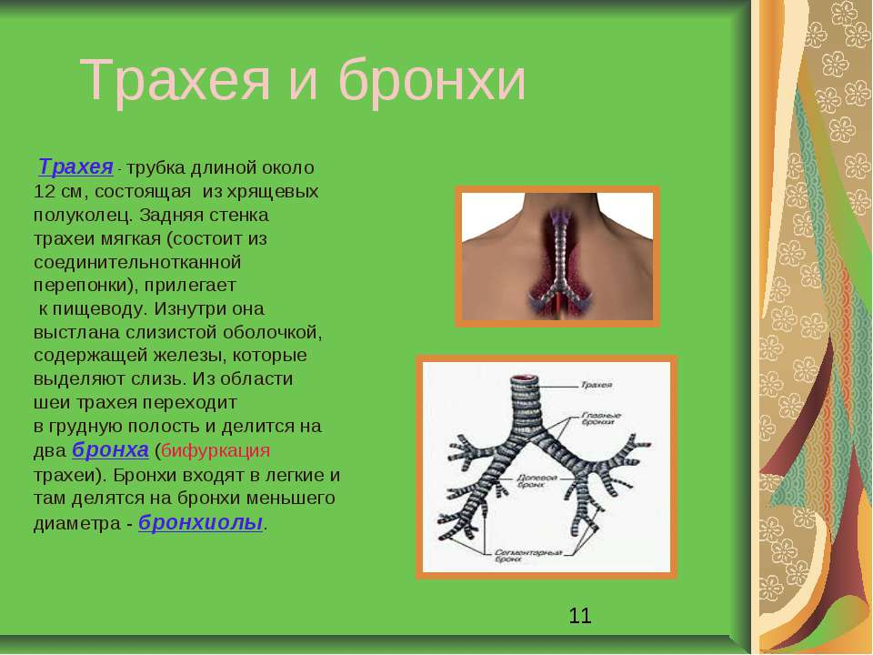 Трахея и бронхи Трахея - трубка длиной около 12 см, состоящая из хрящевых пол...