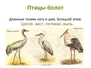 Птицы болот Длинные тонкие ноги и шея, большой клюв. Цапля, аист, пеликан, выпь.