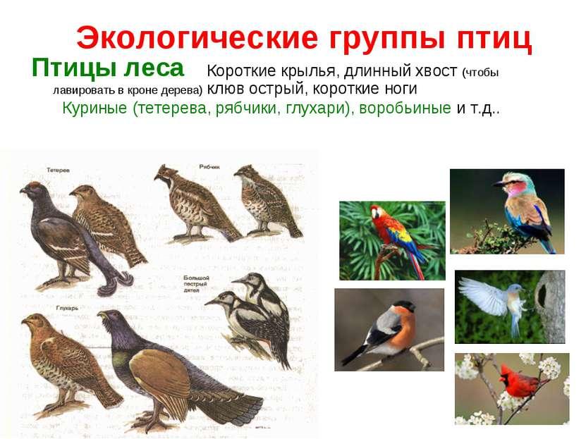 Экологические группы птиц Птицы леса Короткие крылья, длинный хвост (чтобы ла...