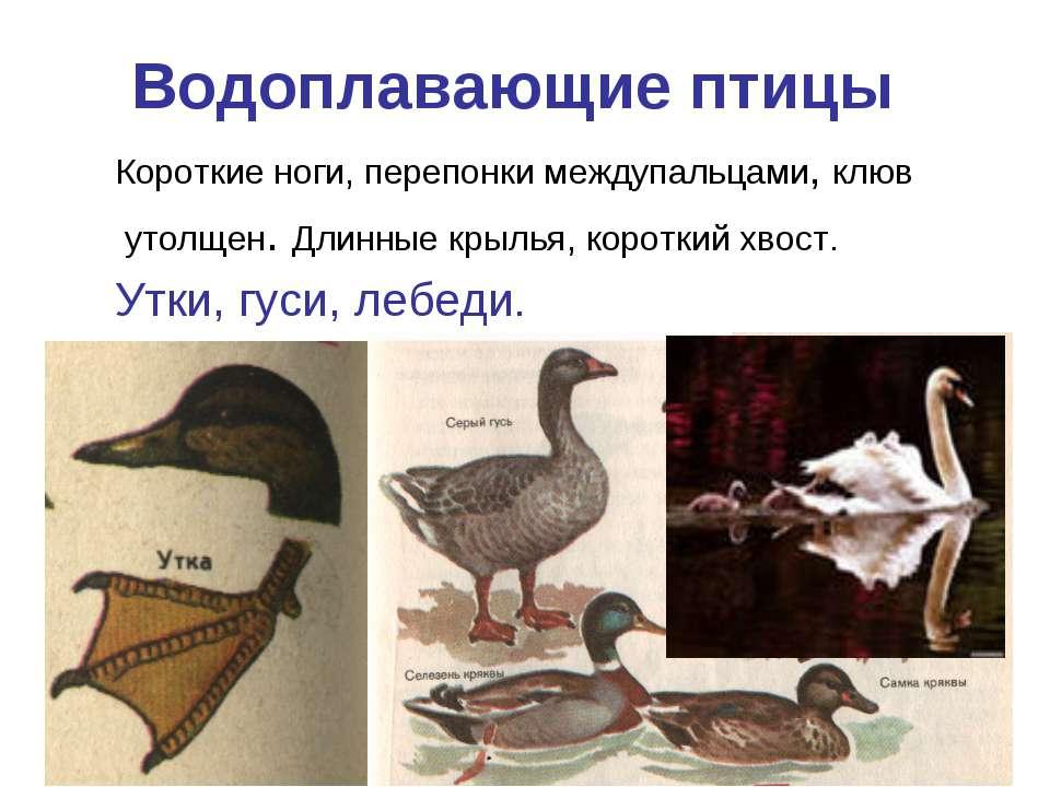 Водоплавающие птицы Короткие ноги, перепонки междупальцами, клюв утолщен. Дли...