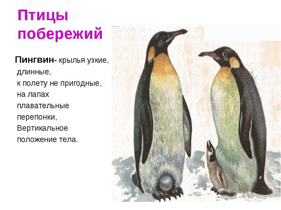 Птицы побережий Пингвин- крылья узкие, длинные, к полету не пригодные, на лап...