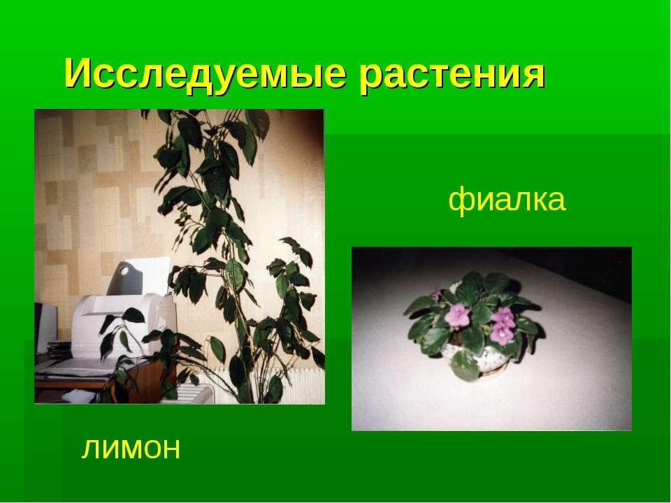 Исследуемые растения лимон фиалка