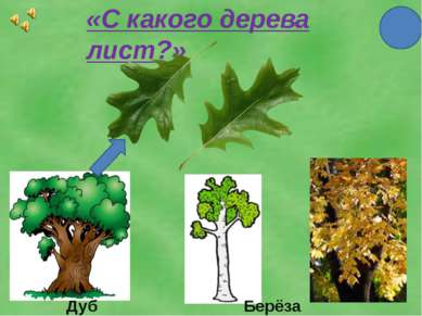 «С какого дерева лист?» Дуб Берёза Клён