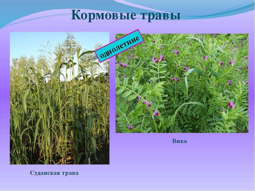 Кормовые травы однолетние Суданская трава Вика