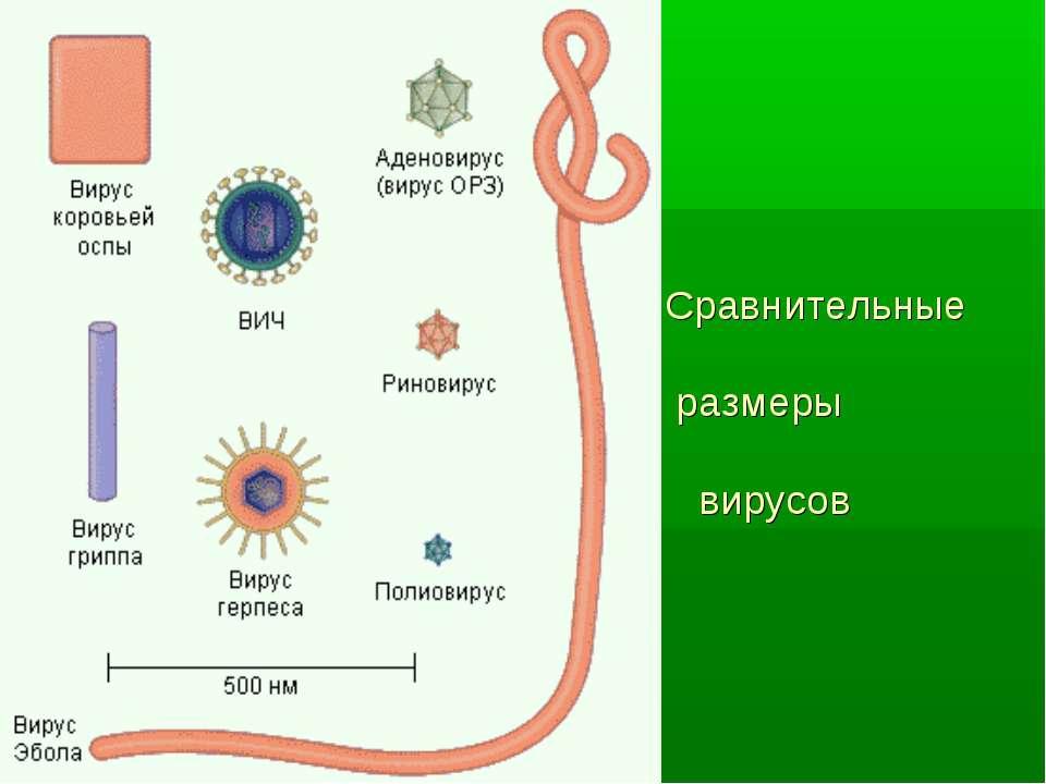 Сравнительные размеры вирусов
