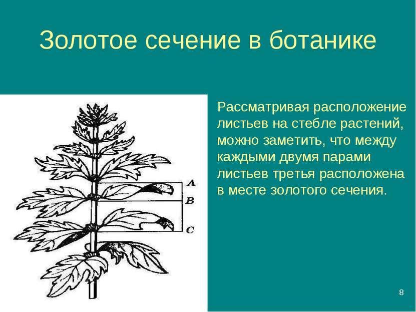 * Золотое сечение в ботанике Рассматривая расположение листьев на стебле раст...