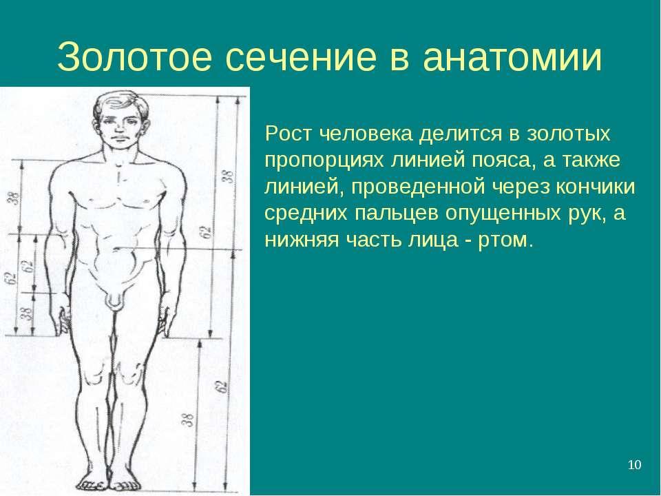 * Золотое сечение в анатомии Рост человека делится в золотых пропорциях линие...