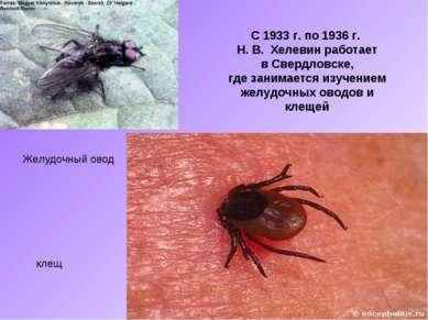С 1933 г. по 1936 г. Н. В. Хелевин работает в Свердловске, где занимается изу...