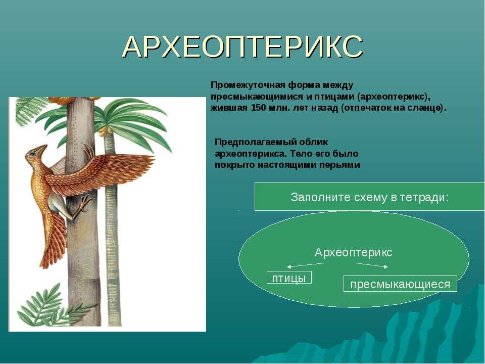 АРХЕОПТЕРИКС Промежуточная форма между пресмыкающимися и птицами (археоптерик...