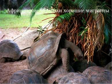 Африканские черепахи хорошие мигранты