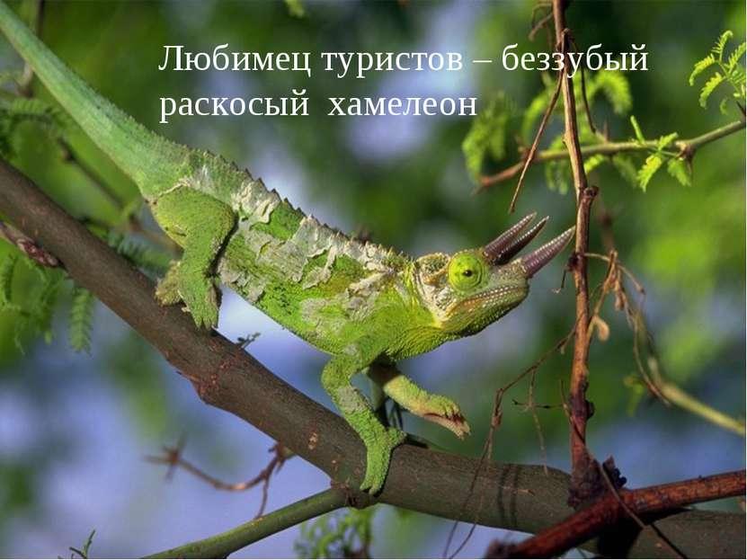 Любимец туристов – беззубый раскосый хамелеон