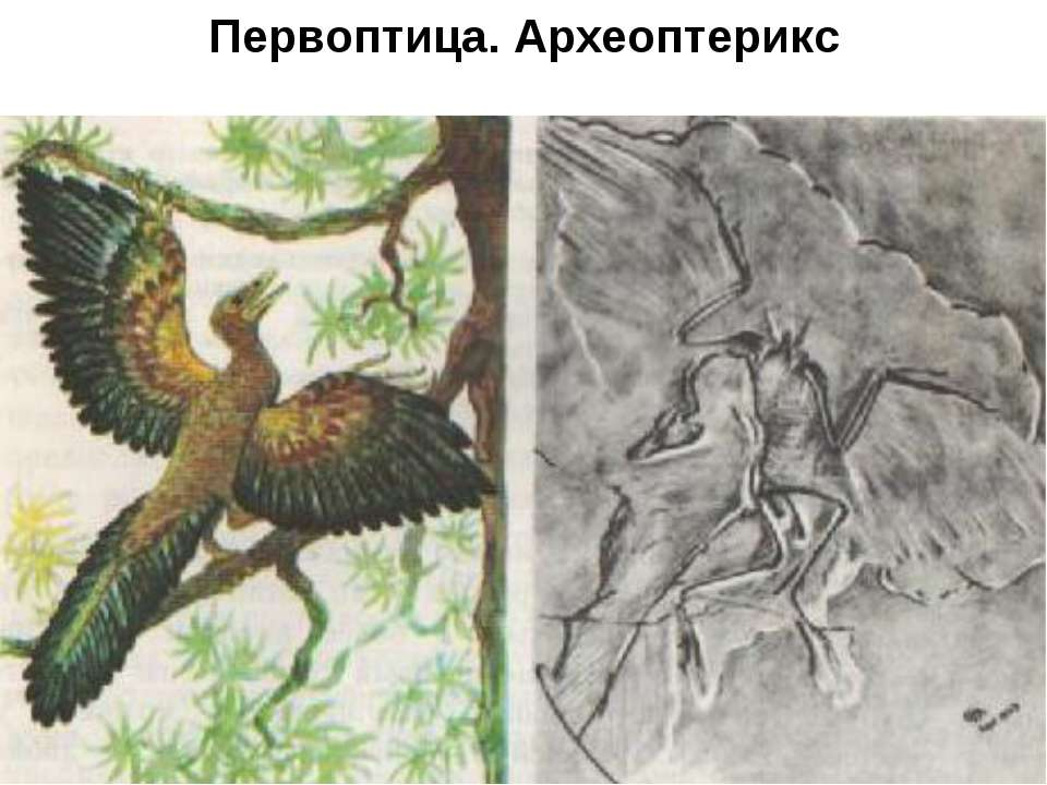 Предки птиц Первоптица. Археоптерикс