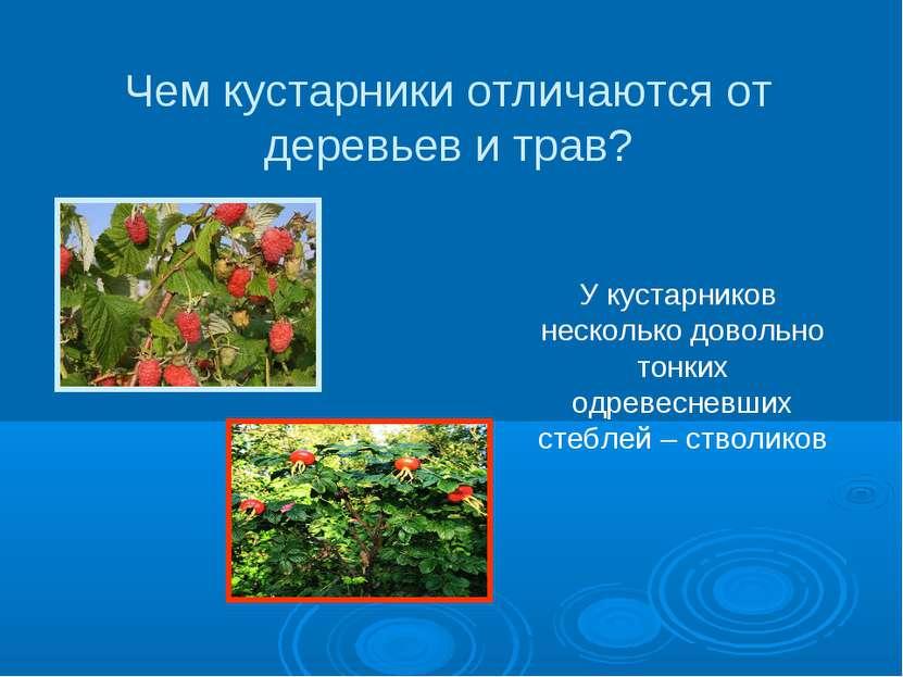 Чем кустарники отличаются от деревьев и трав? У кустарников несколько довольн...